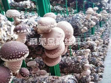 辽宁省蘑菇网片